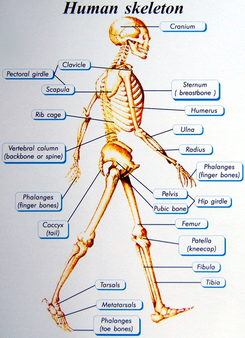 Skeletal System and Joints